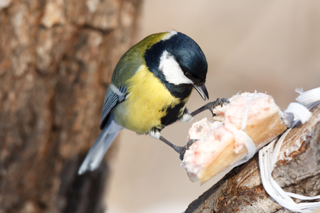 great tit: Birdfeeder. Great Tit (Parus major) Stock Photo