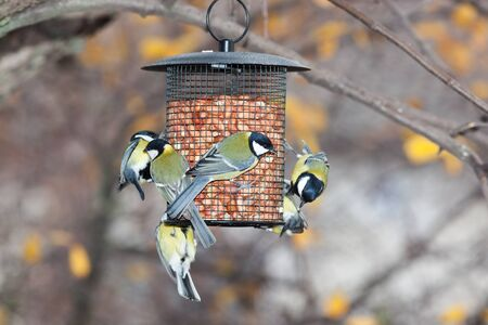 Birdfeeder. Great Tit (Parus major) Stock Photo
