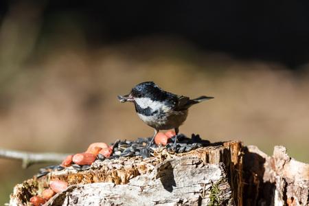 Coal Tit (Parus ater) in the bird-feeder