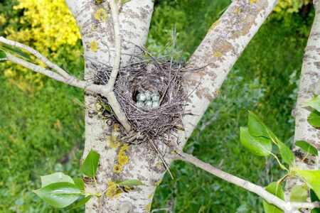 Lanius minor. The nest of the Lesser Grey Shrike in nature. Russia, the Ryazan region (Ryazanskaya oblast), the Pronsky District, Denisovo.