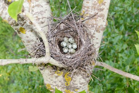 minor: Lanius minor. The nest of the Lesser Grey Shrike in nature. Russia, the Ryazan region (Ryazanskaya oblast), the Pronsky District, Denisovo.