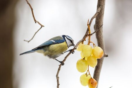 Blue tit (Parus caeruleus). Russia,  Moscow, Botanical Garden of the Russian Academy of Sciences. Blue tit (Parus caeruleus).