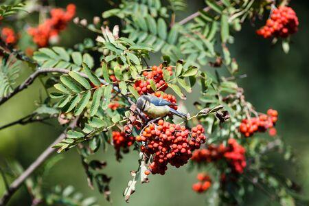 blue tit: Timirjazevsky park, Moscow. Russia. Blue tit (Parus caeruleus).