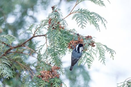 thuja occidentalis: Russia,  Moscow, Botanical Garden of the Russian Academy of Sciences. Coal Tit (Parus ater).