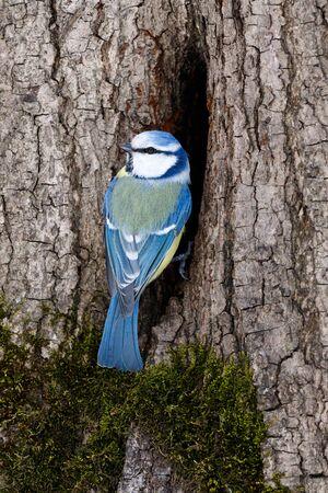 blue tit: Moscow. Russia. Blue tit (Parus caeruleus) by hollow Stock Photo