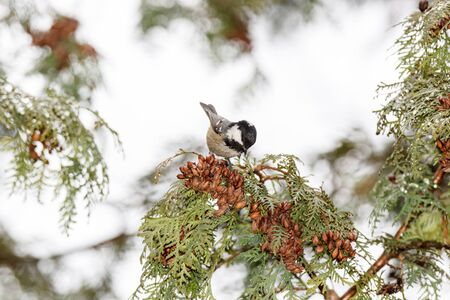 Russia,  Moscow, Botanical Garden of the Russian Academy of Sciences. Coal Tit (Parus ater).