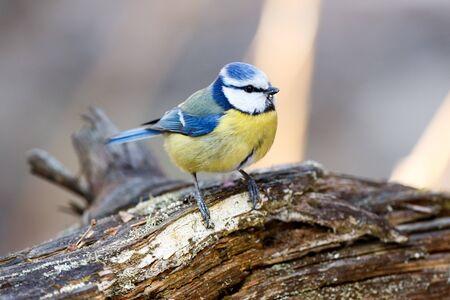 blue tit: Moscow region, Russia. Blue tit (Parus caeruleus).