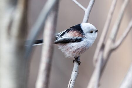 Long-tailed Tit (Aegithalos caudatus). Moscow region, Russia Stock Photo
