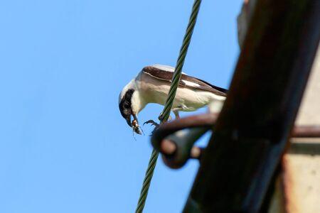 minor: Lesser Grey Shrike (Lanius minor).  Russia, the Ryazan region (Ryazanskaya oblast), the Pronsky District, Denisovo. Stock Photo