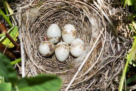 nesting: Russia, the Ryazan region (Ryazanskaya oblast), the Pronsky District