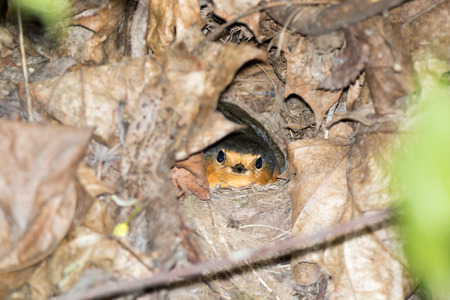 Erithacus rubecula. The nest of the Robin in nature.