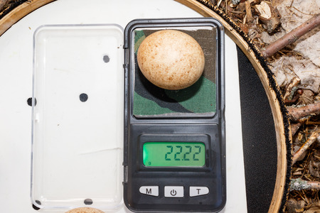 falconidae: The eggs of the Northern Hobby in front of white background, isolated. Russia, the Ryazan region. Falco subbuteo.