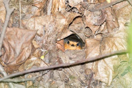 incubate: Erithacus rubecula. The nest of the Robin in nature.