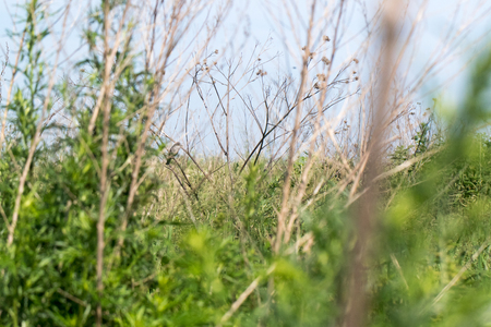 nesting: The nest of the Barred Warbler in nature.  nesting habitat Stock Photo