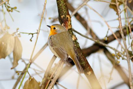 erithacus rubecula: Robin (Erithacus rubecula) in the nature.