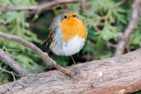 Robin (Erithacus rubecula) in the nature.