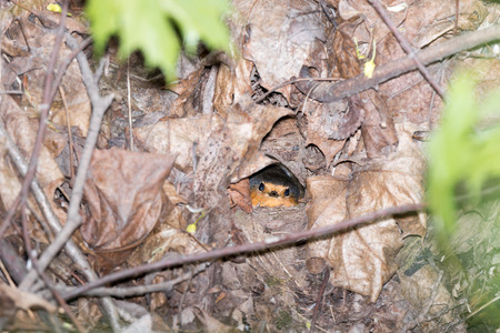 erithacus rubecula: Erithacus rubecula. The nest of the Robin in nature.