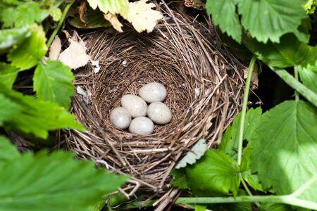 Sylvia nisoria. The nest of the Barred Warbler in nature.  Russia, the Ryazan region (Ryazanskaya oblast), the Pronsky District.