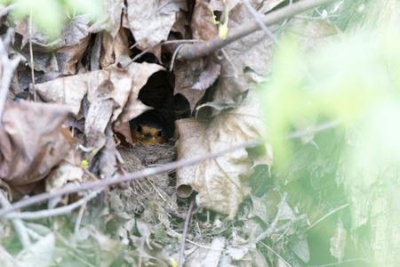incubation: Erithacus rubecula. The nest of the Robin in nature.