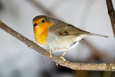 erithacus rubecula: Robin (Erithacus rubecula) in the nature.