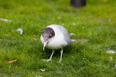 Russia, The Moscow Zoo. Great Black-headed Gull (Larus ichthyaetus). Stock Photo