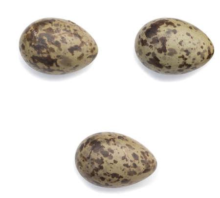 ridibundus: Larus ridibundus. The eggs of the Black-headed in front of white background, isolated.