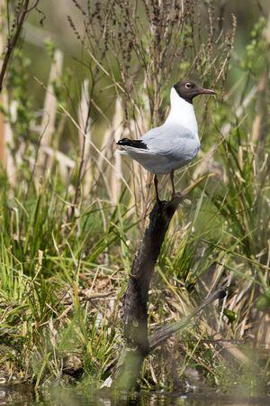 ridibundus: Black-headed (Larus ridibundus) in the Nature Stock Photo