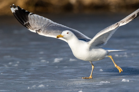 Yellow-legged Gull (Larus cachinnans). Birds species is identified inaccurately. Russia,  Moscow.