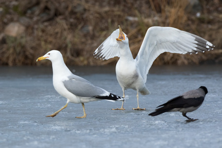 show bill: Yellow-legged Gull (Larus cachinnans). Birds species is identified inaccurately. Russia,  Moscow.