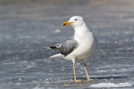 larus: Yellow-legged Gull (Larus cachinnans). Birds species is identified inaccurately. Russia,  Moscow.