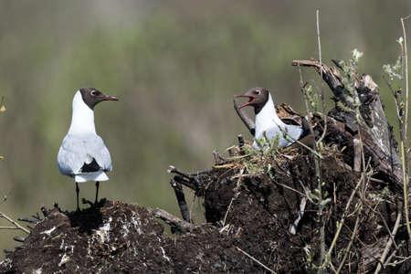 Black-headed (Larus ridibundus) in the Nature Stock Photo