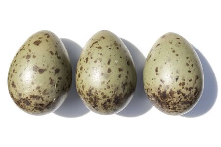 Larus ridibundus. The eggs of the Black-headed in front of white background, isolated.
