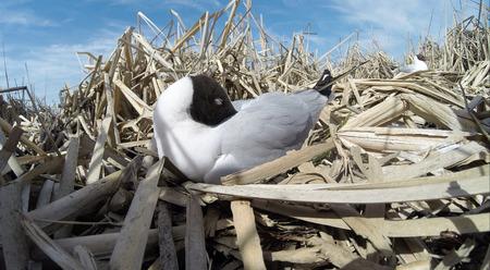 larus: Larus ridibundus. The nest of the Black-headed in nature.