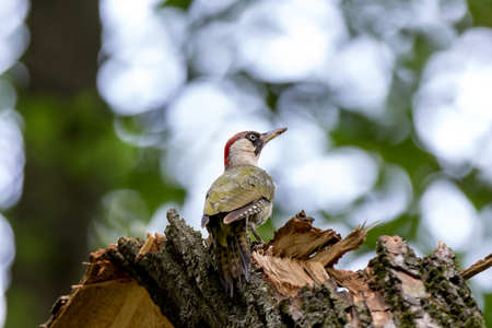 woodpecker: Green Woodpecker (Picus viridis). Russia, Moscow