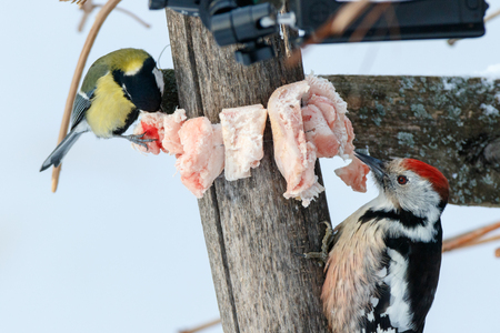 Middle Spotted Woodpecker (Dendrocopos medius). Russia, the Ryazan region (Ryazanskaya oblast), the Pronsky District, Denisovo.