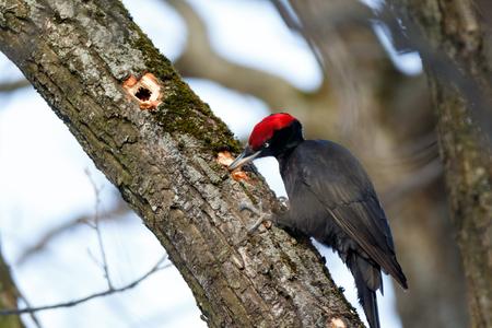 Black Woodpecker (Dryocopus martius). ??????. Russia,  Moscow.