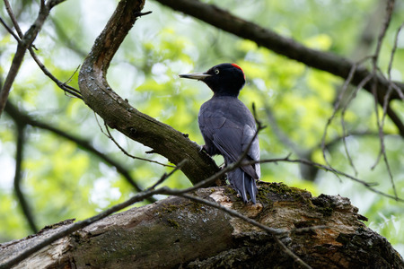 Black Woodpecker (Dryocopus martius). female Stock Photo