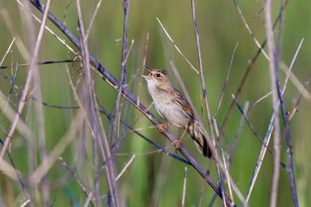 Grasshopper Warbler (Locustella naevia). Russia, the Ryazan region (Ryazanskaya oblast), the Pronsky District, Denisovo. Stock Photo