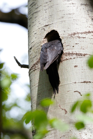 woodpecker: Dryocopus martius. The nest (hole) of the Black Woodpecker in nature. ??????. Russia,  Moscow. Stock Photo