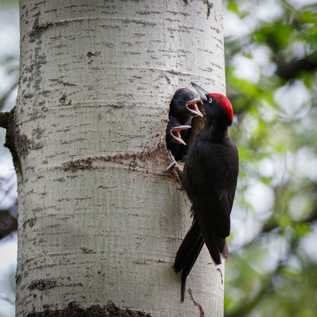 Dryocopus martius. The nest (hole) of the Black Woodpecker in nature. ??????. Russia,  Moscow. Stock Photo