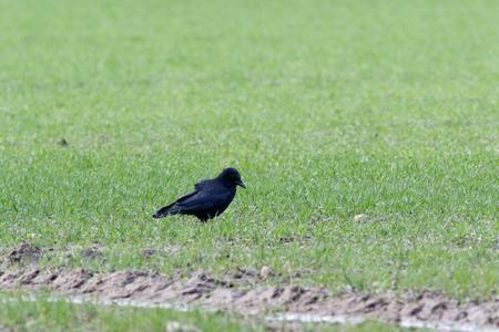 Carrion Crow (Corvus corone corone). Landkreis Vechta, Visbek. Germany, Lower Saxony.