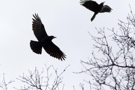 Rook (Corvus frugilegus). Bird. Imagens