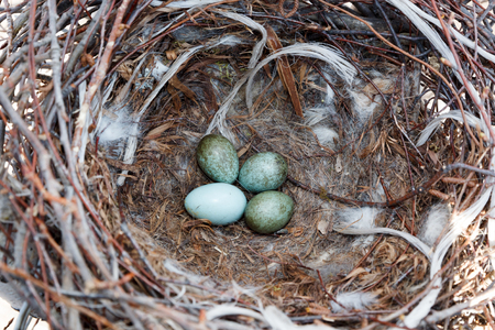 Corvus cornix. The nest of the Hooded Crow in nature.
