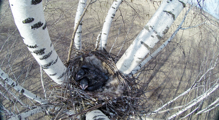 Corvus corax. The nest of the Common Raven in nature.