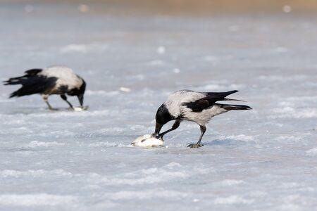 icefield: Hooded Crow (Corvus cornix) in nature.