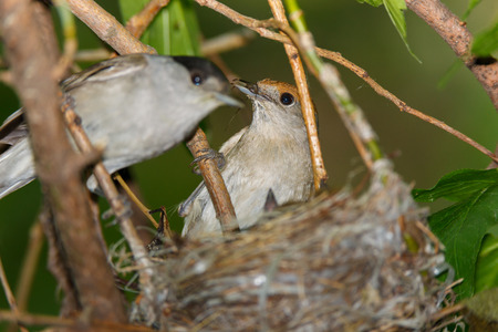 nesting: Sylvia atricapilla. The nest of the Blackcap in nature. Russia, the Ryazan region (Ryazanskaya oblast), the Pronsky District.