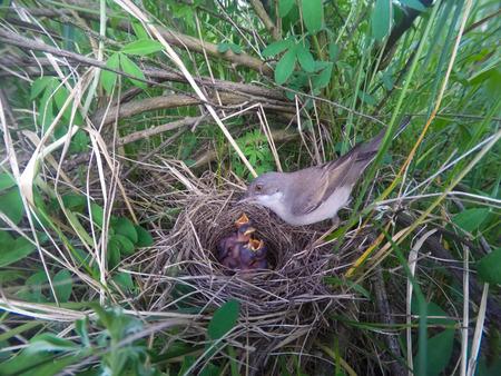 pollitos: El nido de Whitethroat en la naturaleza. Denisovo. Región de Ryazan, área de Pronsky. Rusia. Sylvia communis.