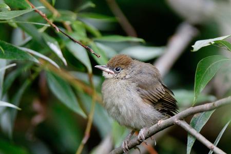 Blackcap (Sylvia atricapilla). fledgling Stock Photo