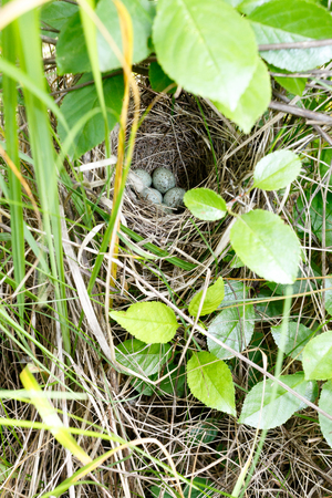 The nest of the Whitethroat in nature. Denisovo. Ryazan region, Pronsky area. Russia. Sylvia communis.