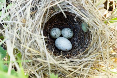 Denisovo. Ryazan regio, Pronsky gebied. Rusland. Gemeenschappelijke koekoek (Cuculus canorus). Sylvia communis. Het nest van de Whitethroat in de natuur.